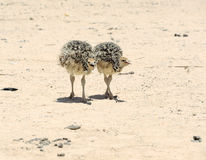 Two african ostrich chick Stock Photography