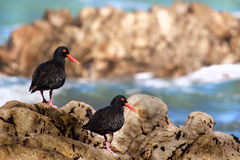 Two African oyster catcher Stock Photos