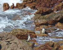 Two African penguin Spheniscus demersus on Boulders Beach near Cape Town South Africa enjoying the sunshine day after stock images