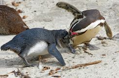 Two African penguin Spheniscus demersus fighting. On the shore Stock Image