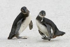 Two African penguin Spheniscus demersus. Fighting on the shore Royalty Free Stock Image