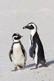 Two African penguins. Two African penuins standing on the beach, checking each other out Stock Photos