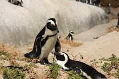 Two African penguins. On the beach Stock Image