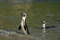 Two African penguins on the beach Royalty Free Stock Images