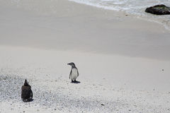 Two African Penguins at Boulders Beach in South Africa Stock Photos