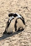 Two African penguins. Preening on the beach Stock Images