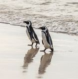 Two African penguins on a sandy beach. Simon`s Town. Boulders Beach. South Africa. Royalty Free Stock Photos