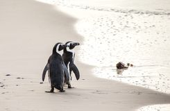 Two African penguins on a sandy beach. Simon`s Town. Boulders Beach. South Africa. Royalty Free Stock Images