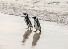 Two African penguins on a sandy beach. Simon`s Town. Boulders Beach. South Africa. Stock Photo