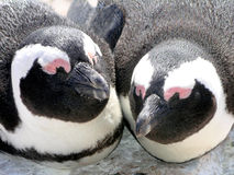 Southern african animals. Two african pinguins near Capetown Royalty Free Stock Image
