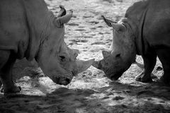 Two african rhino, duel for power. Two african dangerous rhinos in duel for power, black and white nature outdoors shot stock photos
