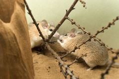Two african spiny mice. Acomys in the terrarium are communicating and gnawing buds of shrub twigs Stock Image