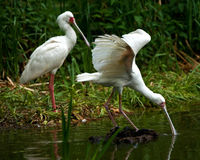 Two african spoonbills fishing Stock Images