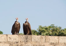 Two African Vultures on a wall Royalty Free Stock Photography