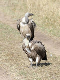 Two African White-backed Vulture Stock Image
