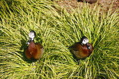 Two African White-Faced Ducks Royalty Free Stock Photo