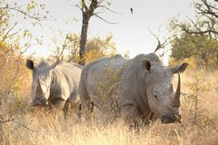 Two African White Rhinos in a South African game reserve stock images