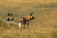 Two African wild dogs. Botswana, Africa Stock Photography