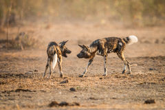 Two African wild dogs playing together in the Kruger National Park, South Africa. Playing African wild dogs in the Kruger National Park, South Africa Royalty Free Stock Image