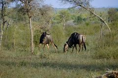 Two african wildebeest measuring each other stock photos