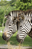 Two African Zebra eating grass Stock Images