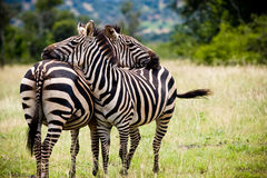 Two African zebras taking a break. Two zebras in natural habitat resting with one another Royalty Free Stock Image