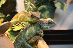 Two Agamas Royalty Free Stock Photography