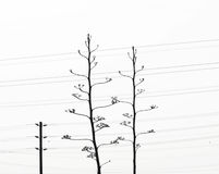 Two Agave plants. A Photograph of two agave plants with electricity cables and telephone lines behind. The branching at the telephone poles mimics that of the Royalty Free Stock Image
