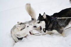 Two aggressive dogs Stock Photo