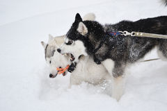 Two aggressive dogs Stock Images