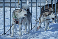 Two aggressive dogs on chain around fence Stock Photos