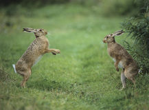 Two aggressive hares Royalty Free Stock Photography