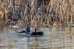 Two aggressive wild moorhens Gallinula chloropus fighting in early spring with low level late winter sunlight. Dusk evening royalty free stock image