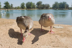 Two agressive geese trying to bite. Photographer Stock Photo