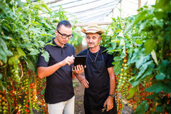 Two agriculture farmer workers ckecking orders of cherry tomato online on tablet from costumers in greenhouse. Agriculture busines. S Agriculture Stock Photography