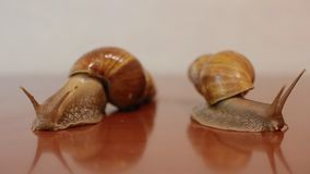 Two ahatina snails. On the reflective surface stock video footage