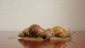 Two ahatina snails. On the reflective surface stock footage