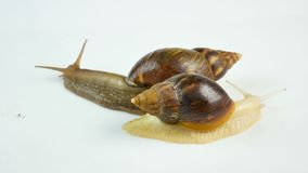 Two ahatina snails on a white background creep and wiggle the horns. The use of snails in medicine and cosmetology.  stock footage