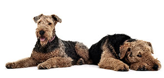 Two Airdale Terrier on the studio floor. Two Airdale Terrier lying on the studio floor Stock Photography