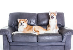Two akita dogs over a sofa Royalty Free Stock Image