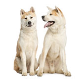 Two Akita Inus sitting and interacting, 2 years old Royalty Free Stock Image