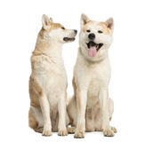 Two Akita Inus sitting and interacting, 2 years old Stock Photos