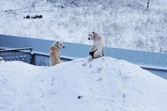 Two Alabai dogs sit on a snowdrift near the fence and look around. Pet. Two Alabai dogs sit on a snowdrift near the fence and look around Stock Photography
