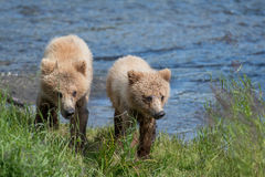 Two Alaskan brown bear cubs Stock Images