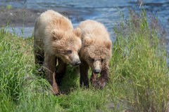 Two Alaskan brown bear cubs Royalty Free Stock Photography