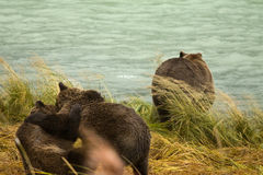 Two Alaskan Brown Bear siblings play fighting while the mother looks for salmon, Chilkoot River Stock Image