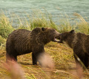 Two Alaskan Brown Bear siblings play fighting with teeth bared, Chilkoot River. Haines, Alaska Royalty Free Stock Image