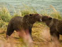 Two Alaskan Brown Bear siblings play fighting with teeth bared, Chilkoot River. Haines, Alaska Royalty Free Stock Photography