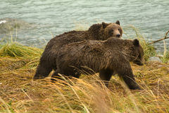 Two Alaskan Brown Bear siblings walking along the river looking for salmon, Chilkoot River Royalty Free Stock Photos