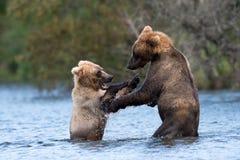 Two Alaskan brown bears playing Royalty Free Stock Image